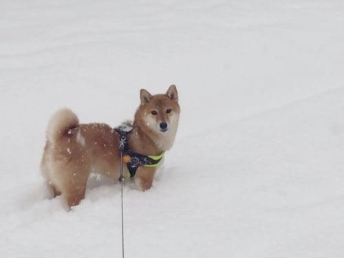 犬 柴犬 ブログ 雪景色 散歩 かわいい