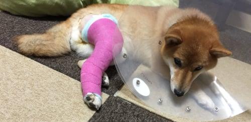 犬 柴犬 ブログ 膝蓋骨脱臼 手術