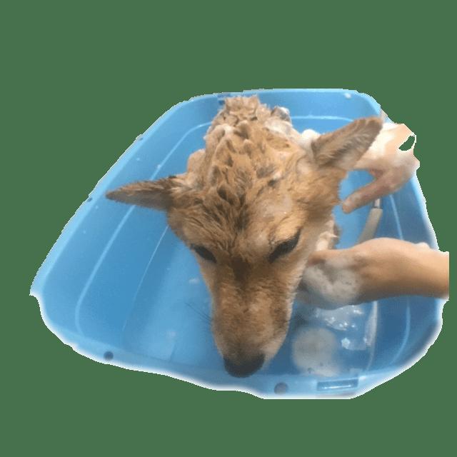 犬 柴犬 ブログ シャンプー 洗う かわいい