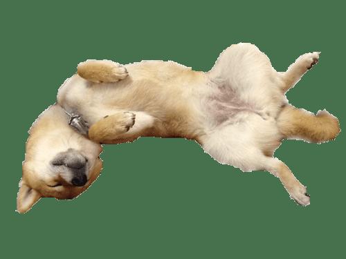 柴犬 へそ天 爆睡 ブログ かわいい