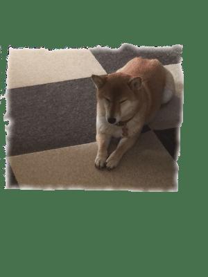 柴犬 画像 かわいい ウトウト 待つ 待て