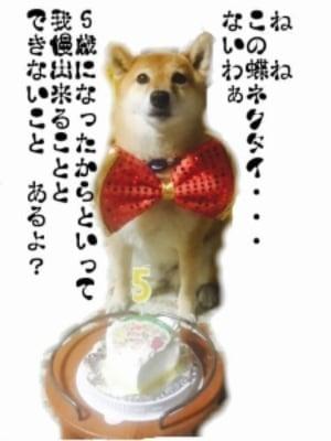 柴犬 誕生日 蝶ネクタイ