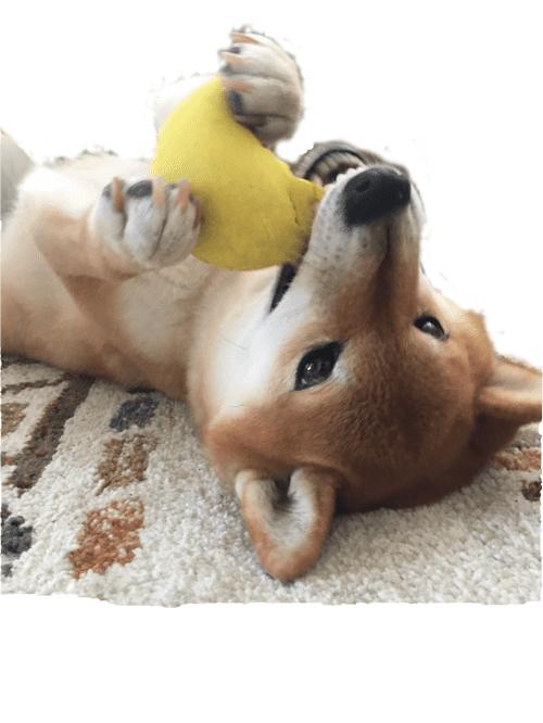 柴犬 ボール遊び 転がる
