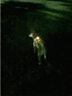 犬 柴犬 ブログ 夜 散歩 かわいい LEDライト
